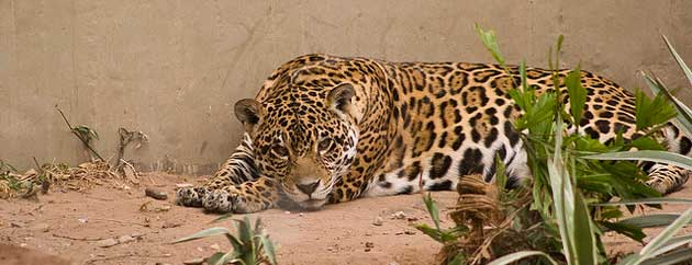 World Conservation Society Uncovers Record Number of Jaguars in Bolivia
